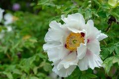 Bloeiende boompioen Witte die pioenenbloei in de lentetijd als Paeonia-rockiipaeoniaceae wordt bekend royalty-vrije stock afbeelding