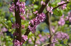 Bloeiende boomstam van Judasboom stock foto's