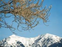 Bloeiende boomtak bij bergenachtergrond royalty-vrije stock afbeeldingen