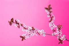 Bloeiende boomtak op roze Stock Foto's