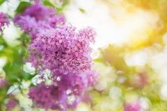 Bloeiende boomtakken met violette lilac bloemen de lente S Royalty-vrije Stock Afbeeldingen