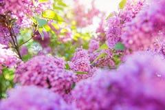 Bloeiende boomtakken met violette lilac bloemen de lente S Stock Afbeeldingen