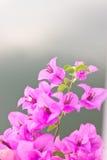 Bloeiende bougainvillea Stock Afbeeldingen