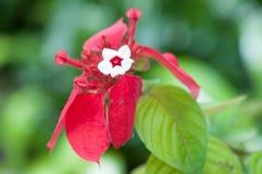 Bloeiende bougainvillea Royalty-vrije Stock Foto