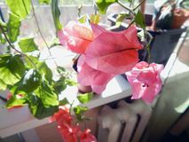 Bloeiende bougainvillea op het venster in het binnenland stock afbeelding