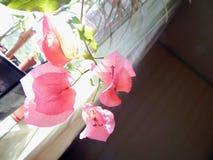 Bloeiende bougainvillea op het venster in het binnenland stock foto