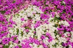 Bloeiende bougainvillea. Stock Afbeeldingen