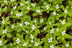 Bloeiende Bunchberry-Cornus canadensisachtergrond Royalty-vrije Stock Afbeelding