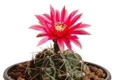 Bloeiende cactus stock foto