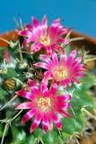 Bloeiende cactus royalty-vrije stock fotografie