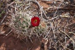 Bloeiende cactus Royalty-vrije Stock Afbeeldingen