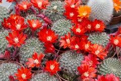 Bloeiende cactus Royalty-vrije Stock Foto's