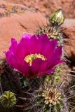 Bloeiende cactus Stock Foto's