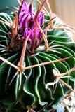 Bloeiende cactus stock fotografie