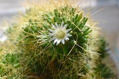Bloeiende cactus Royalty-vrije Stock Foto