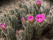 Bloeiende cactus Royalty-vrije Stock Afbeelding