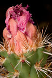 Bloeiende cactus Stock Afbeelding