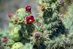 Bloeiende cactus in Dana Point Headland Conservation Preserve stock fotografie
