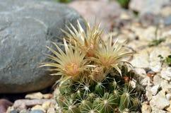 Bloeiende cactus dichtbij de grijze steen Royalty-vrije Stock Afbeelding