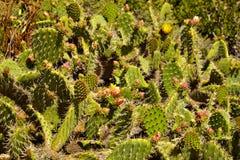 Bloeiende cactus en Indische algemene wildflowers royalty-vrije stock afbeeldingen