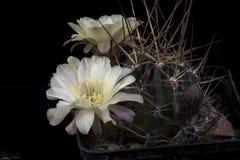 Bloeiende cactus Lobivia royalty-vrije stock foto