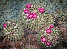 Bloeiende cactus met roze bloemen Royalty-vrije Stock Foto