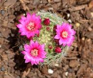 Bloeiende cactus met roze bloemen en knoppen Royalty-vrije Stock Afbeelding
