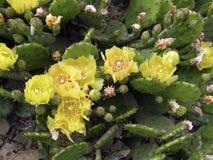 Bloeiende cactus op een rots stock afbeeldingen
