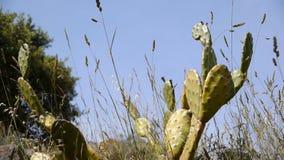 Bloeiende cactus in Zuid-Frankrijk stock footage