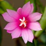 Bloeiende cactusbloem Stock Afbeeldingen