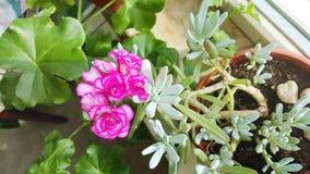 Bloeiende cactusbloem Stock Foto's