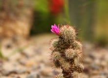 Bloeiende Cactusinstallatie Royalty-vrije Stock Afbeeldingen