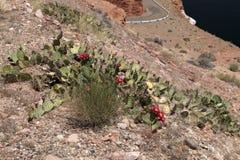 Bloeiende cactussen dichtbij Meer Powell Royalty-vrije Stock Foto's