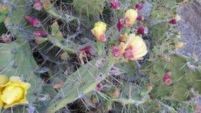 Bloeiende cactussen in Tenerife Stock Afbeeldingen