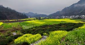 Bloeiende canolabloemen Stock Foto