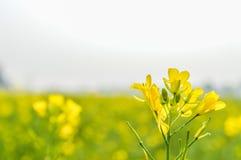 Bloeiende canolabloemen in de zomer dicht omhoog stock afbeeldingen