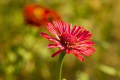 Bloeiende chrysant royalty-vrije stock afbeeldingen