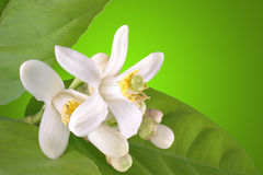 Bloeiende citroen royalty-vrije stock fotografie