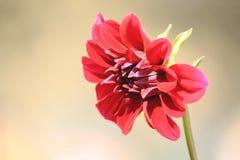 Bloeiende Dahliabloem stock afbeelding