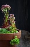Bloeiende de bloemen, de kippen en de kuikensinstallatie van sempervivumcalcareum Stock Afbeeldingen