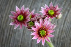 Bloeiende de bloemen, de kippen en de kuikensinstallatie van sempervivumcalcareum Royalty-vrije Stock Afbeelding
