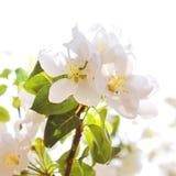 Bloeiende de Lenteboom Stock Fotografie