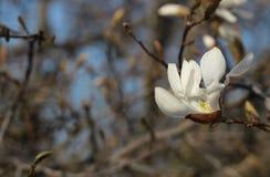 Bloeiende de lenteknop van witte magnolia De natuurlijke schoonheid van de de lentebloem stock fotografie