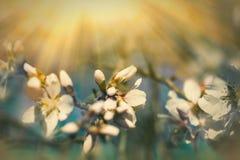 Bloeiende die fruitboom door zonlicht wordt aangestoken - zonnestralen Stock Foto