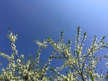 Bloeiende die pruim-boom tak met witte bloemen op blauwe heldere hemelachtergrond wordt behandeld De close-up van de pruimboom De stock fotografie