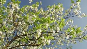 Bloeiende die pruimboom, pruim-boom tak met witte bloemen wordt behandeld en gebladerte op blauwe achtergrond stock videobeelden
