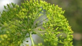 bloeiende dille in de zomer, de lente in de tuin Het kweken van dille op de aanplanting van een landbouwer De close-up van de dil stock video