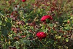 Bloeiende donkerrode rozen op groene achtergrond Rozen in een natuurlijk milieu stock afbeeldingen