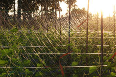 Bloeiende eierstok van jonge komkommers Stock Foto's