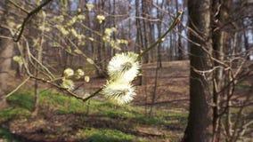 Bloeiende els in de vroege lente stock videobeelden